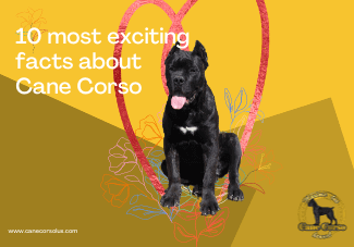 Ten most exciting facts about Cane Corso