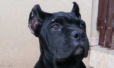 All black cane corso boy export to UK