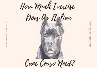 How Much Exercise Does An Italian Cane Corso Need?