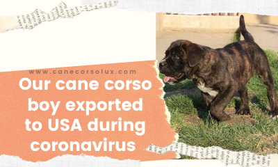 Our Cane Corso boy exported to USA during coronavirus situation