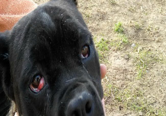 Common Cane Corso's Health Issues