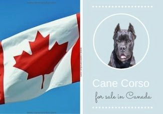 Where To Find A Cane Corso Puppy For Sale in Canada?