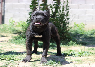 Is Cane corso right dog for you ?