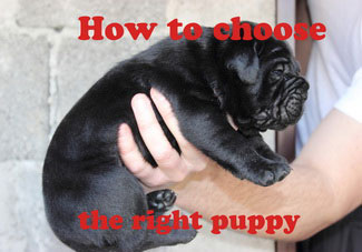 How to choose the right cane corso puppy