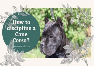 How to discipline a Cane Corso