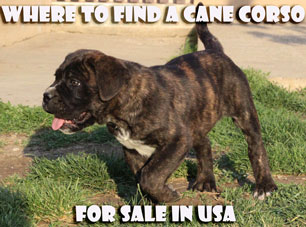 Where to find a Cane Corso puppy for sale in the USA?