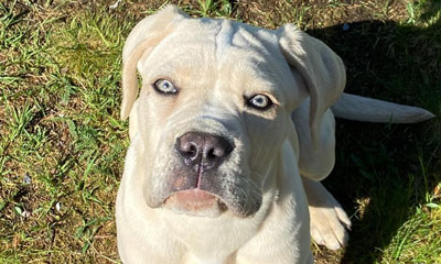 Straw cane corso puppy exported to Sweden