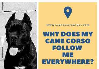 Why Does My Cane Corso Follow Me Everywhere?